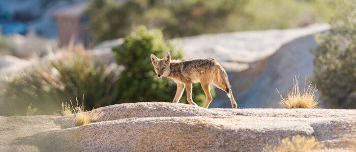 Desert Kit Fox at Joshua Tree National Park