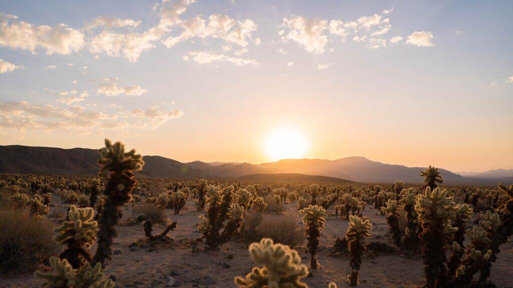 Visit 29 Palms Sunrise Cholla Cactus Garden Joshua Tree National Park